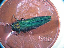 the image shows the emerald ash borer sitting on top of a penny for size comparison. it is about 30% of the size compared to the penny. it is green.
